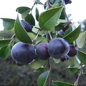 Muda de Guabiju, a melhor fruta do sudeste (frutifera nativa)