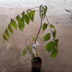 Muda de caja do himalaia (Choerospondias axillaris)