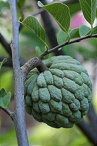 Muda de fruta do conde (Annona squamosa)
