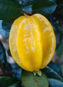 Muda de pitangatuga produzindo (arorezinha) carrega de frutos, exclente para vaso