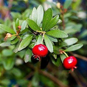 Muda De Mini Cereja Produzindo, excelente para ser cultivada em vaso