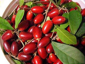 Muda De Fruta Do Milagre Em Promoção No Pomar Galvão