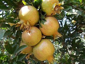Muda de Roma Amarela das canarias muito rara ( Punica granatum alba )
