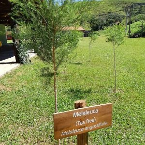 Óleo Essencial Tea Tree (Melaleuca)