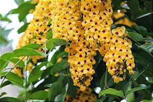 Sementes de Aldrago (Pterocarpus violaceus): 3 Sementes