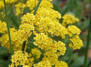 Sementes de Alyssum Amarela: 20 Sementes