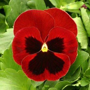 Sementes de Amor Perfeito Vermelho Gigante Suíço: 15 Sementes