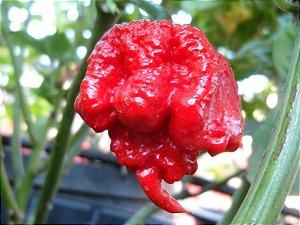 Sementes de Carolina Reaper: 5 Sementes (Pimenta Mais Forte do Mundo)