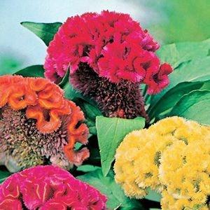 Sementes de Celósia Cristata Sortida: 15 Sementes