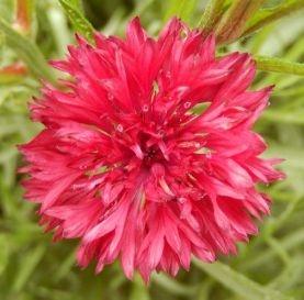 Sementes de Centáurea Vermelha: 20 Sementes