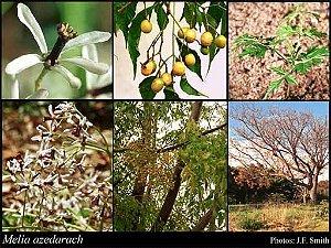 Sementes de Cinamomo Gigante - Melia azedarach L. - 3 Sementes