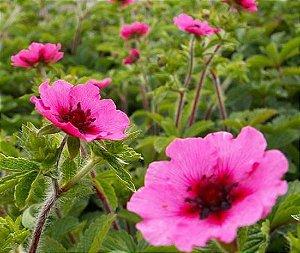 Sementes de Cinco Folhas: 20 Sementes