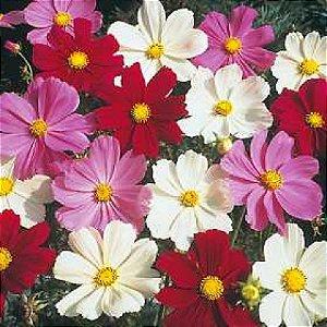 Sementes de Cosmea Sortida: 15 Sementes