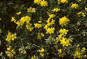 Sementes de Crotalária Espectabilis: 100 Sementes