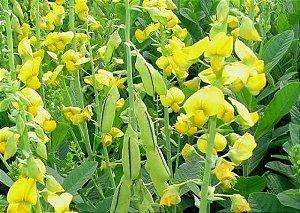 Sementes de Crotalária Ochroleuca: 100 Sementes