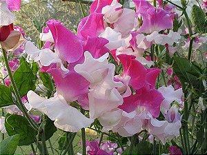 Sementes de Ervilha Cheirosa: 20 Sementes