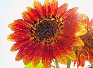 Sementes de Girassol Bonito de Outono: 10 Sementes