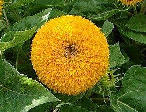 Sementes de Girassol Dobrado Anão: 10 Sementes