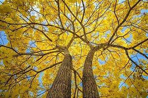 Sementes de Ipê Amarelo (Handroanthus chrysotrichus): 10 Sementes