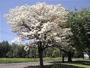 Sementes de Ipê Branco - Tabebuia roseoalba: 5 Sementes