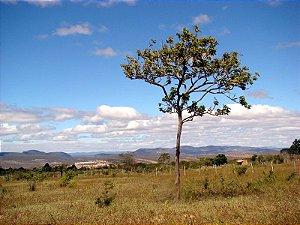 Sementes de Ipê Preto (Zeyhera tuberculosa): 5 Sementes
