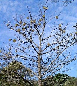 Sementes de Ipê Tabaco (Handroanthus Crizochrita): 5 Sementes