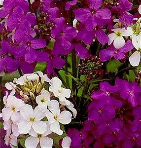 Sementes de Juliana-dos-Jardins Sortida: 20 Sementes