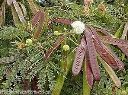Sementes de Leucena (Leucaena leucocephala): 10 Sementes