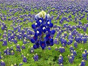 Sementes de Lupino Texano: 10 Sementes