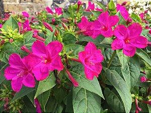 Sementes de Maravilha do Peru Rosa: 10 Sementes