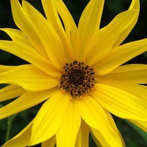Sementes de Margarida Amarela: 20 Sementes