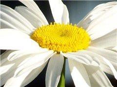 Sementes de Margarida Gigante Branca: 20 Sementes