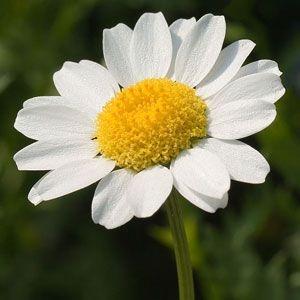 Sementes de Margaridinha Branca: 20 Sementes