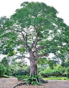 Sementes de Mogno Africano, Khaya Senegalensis - 3 Sementes