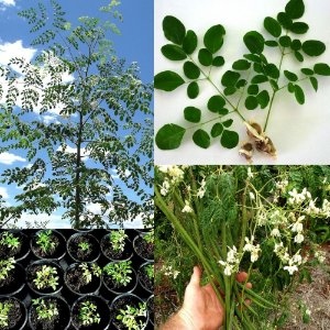 Sementes de Moringa Oleifera - Moringa oleifera - 3 Sementes