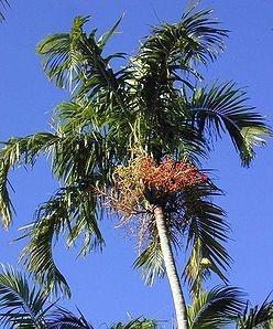 Sementes de Palmeira Carpentaria - Carpentaria acuminata - 3 Sementes