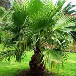 Sementes de Palmeira Leque - 3 Sementes