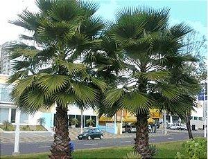 Sementes de Palmeira Sabal de Cuba - Sabal Jamaicensis: 3 Sementes