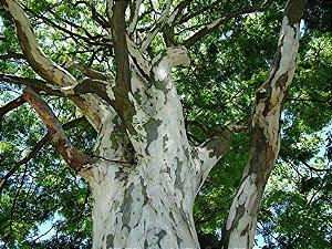 Sementes de Pau Ferro (Caesalpinia ferrea): 5 Sementes
