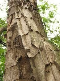 Sementes de Pau jacaré (Piptadenia gonoacantha): 5 Sementes