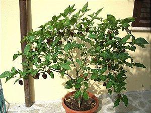 Sementes de Pimenta Chocolate Habanero: 10 Sementes