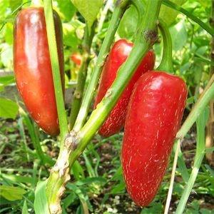Sementes de Pimenta Jalapenho Orgânica: 40 Sementes