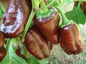 Sementes de Pimentão Chocolate ORGÂNICO: 10 Sementes