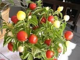 Sementes de Pimenta Redonda para Vaso: 40 Sementes