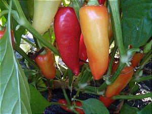 Sementes de Pimenta Santa Fé Grande: 20 Sementes