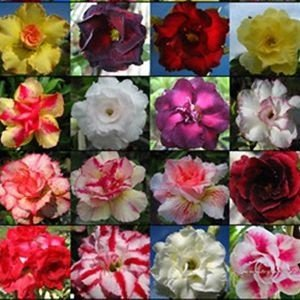 Sementes de Rosa do Deserto (Adenium): 50 Sementes
