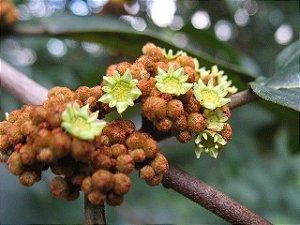 Sementes de Saguaraji - Colubrina glandulosa - 10 Sementes