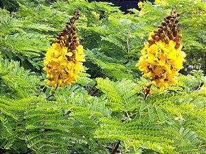 Sementes de Sibipiruna (Casealpinia peltophoroides) – 5 Sementes
