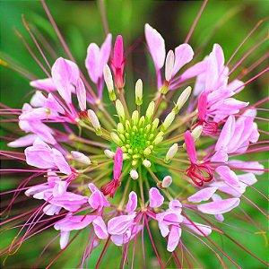 Sementes de Spider Flower (Cleome): 15 Sementes