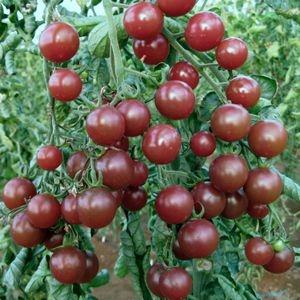 Sementes de Tomate Black Cherry ORGÂNICO: 20 Sementes